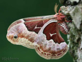 Promethea Moth Callosamia promethea #7764