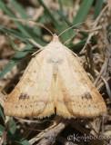 Caenurgia chloropha #8733 female