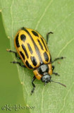 Cottonwood Leaf Beetle