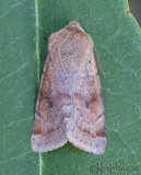 Speckeled Green Fruitworm Moth Orthosia hibisci #10495