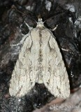 Dashed Gray Pinion Moth Lithophane disposita #9892