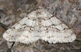 The Half-wing Moth Phigalia titea #6658