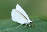 White Spring Moth Lomographa vestaliata #6667