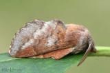 Lappet Moth Phyllodesma americana #7687