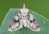 Splendid Palpita Moth Palpita magniferalis #5226