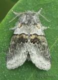 Common Gluphisia - Gluphisia septentrionis #7931