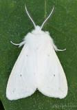Agreeable Tiger Moth Spilosoma congrua #8134
