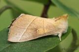 White-dotted Prominent Nadata gibbosa #7915
