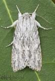 Smeared Dagger Moth Acronicta oblinita #9272