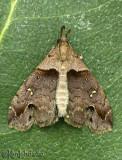 Ambiguous Moth Lascoria ambigualis #8393