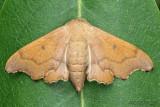 Scalloped Sack-bearer Lacosoma chiridota #7659