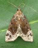 White-lined Bomolocha Hypena abalienalis #8445