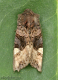 American Angle Shades Euplexia benesimilis #9545