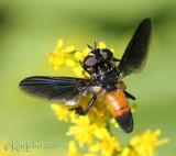 Feather-legged Fly Trichopoda sp.
