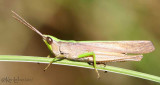 Clipped-wing Grasshopper