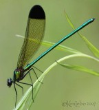 jewelwing