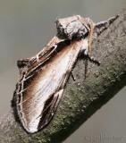 Black-rimmed Prominent Pheosia rimosa #7922