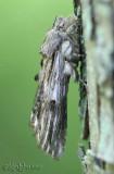 White-streaked Prominent Oligocentria lignicolor #8017
