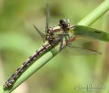 Riffle Snaketail female Ophiogomphus carolus