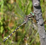 Delta-spotted Spiketail Cordulegaster diastatops