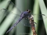 Slaty Skimmer Libellula incesta