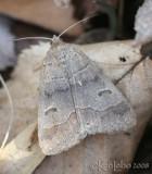 Common Oak Moth - Phoberia atomaris #8591