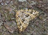 Yellow-veined Geometer - Orthofidonia flavivenata #6430