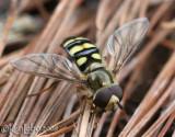 Flower Fly  -  Syrphus ribesii