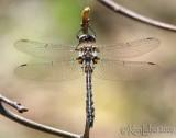 Uhler's Sundragon Helocordulia uhleri