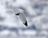 Seagull   farmington 1-27-08 500mm 126