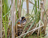 American Coot with chick in nest
