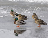 Mallards and Widgeon