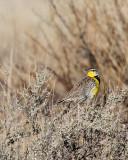 Meadowlark Bosque del Apache.jpg