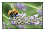 Honeybee Abeille - 0565