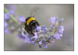 Honeybee Abeille - 0635