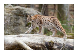 Lynx - 1672