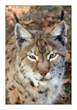 Lynx Portrait - 1037