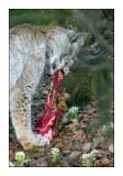 Meat Eater - Lynx - 0968