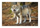 Wolf - 1379