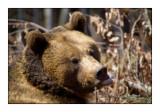 Bear - 0828