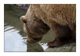 Bear - 1521