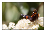 papillon - 2867