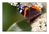 papillon - 2770