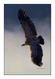 vautour - 3109