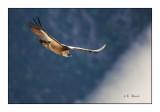 vautour - 3155