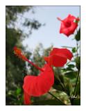 0396 - Hybiscus de Beldi