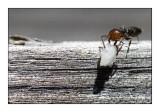 Ants - Fourmis