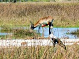 Saddle-billed Stork and a Red Lechwe
