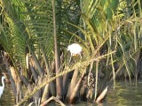 Egret Among Water Coconut Palms