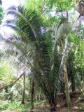 The Largest Palm Fronds in the World.  Fronds Can Reach up to 50' in Length.